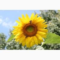 Гибриды семена подсолнечника под ЕВРОЛАЙТИНГ (Сингента, Лимагрейн, Майсадур) (Сlearfield)