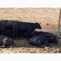 Бык, быки, коровы, первотёлки