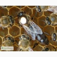 Пчеломатки карпатка карника в наличии Санкт-Петербург