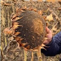 Продаю семена гибридов подсолнчника под ЭКСПРЕСС(50г/га) и ЕВРОЛАЙТНИНГ