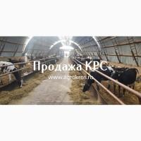 Продажа КРС по России странам СНГ ПРодажа племенных нетелей