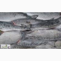 Кижуч ПБГ. Свежемороженая рыба
