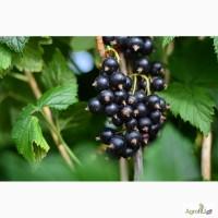 Свежая ягода черной смородины