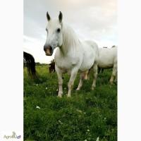 Продам лошадь. Першерон. Кобыла