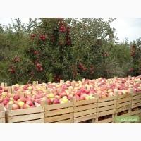 Яблоки оптом.на прямую со своего сада.Оптом.1-2 сорт