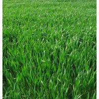 ООО НПП «Зарайские семена» продает семена райграса однолетнего оптом и в розницу