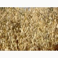 Семена овса ярового для посевной 2021