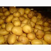 Купим картофель от 20 до 1000 тонн