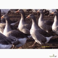 Гусята порода Крупная серая-Борковские