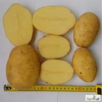 Картофель продовольственный Артемис 5+ от производителя РБ