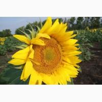 Семена гибриды подсолнечника «ЛИМАГРЕЙН» (Limagrain)