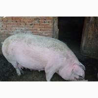 Продаются свиноматки