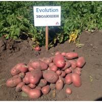 Семенной картофель сорт Эволюшн