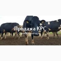 Продажа оптом по России странам СНГ Молочные нетели КРС Продажа племенных нетелей