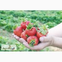 Продам рассаду земляники садовой (клубники) Кимберли (с 15 апреля 2017)