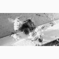 Пчелопакеты Карника Карпатка 2019