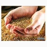 Продаём пшеницу фуражную