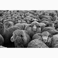 Продаю овец мясных пород живым весом. 140 руб/кг