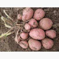 Картофель сорт Манифест 5