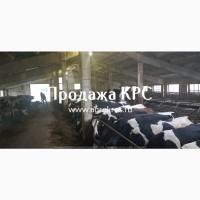Продажа по России и странам СНГ Молочные породы КРС Продажа племенных нетелей