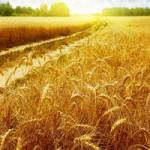 Пшеница 4 класса продаем