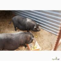 Вьетнамские вислобрюхие свинки