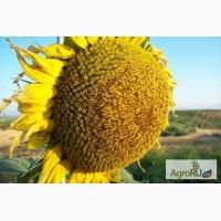 Гибриды семена подсолнечника под ЭКСПРЕСС (Сингента, Лимагрейн, Майсадур) (Express)