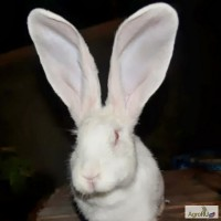 Кролики Германии и Закарпатья