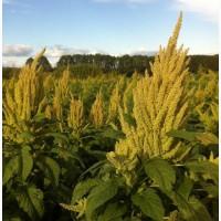 ООО НПП «Зарайские семена» предлагаем семена амаранта оптом