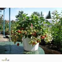 Продам рассаду ремонтантной земляники садовой (клубники) Любава (с 15 апреля 2017)
