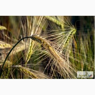 Семена озимого ячменя Рубеж
