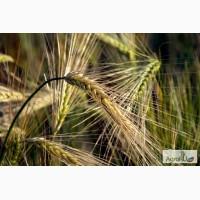 Семена озимого ячменя Рубеж, Стратег