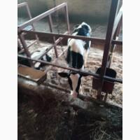 Продаем бычков на откорм